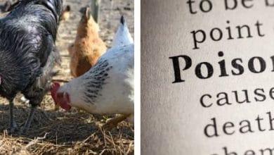 Quoi faire en cas intoxication alimentaire chez la poule