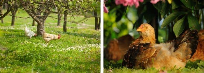 Un parcours des poules parfait