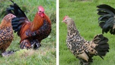 Photo de La poule Sabelpoot : caractère, ponte et éleveurs