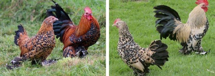 Caractéristiques de la poule Sabelpoot
