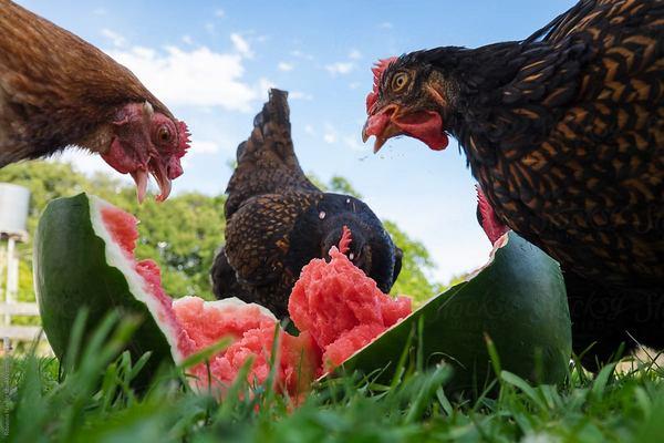 Poules qui se délectent de pastèque