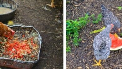 Les poules et les déchets alimentaire : tout savoir
