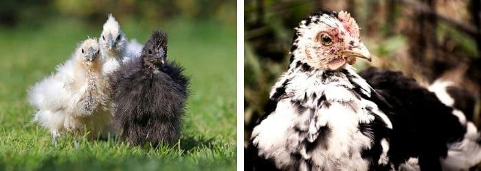 Photo de 5 poules naines à adopter au poulailler