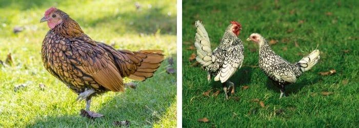 Tout savoir sur la poule Sebright