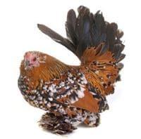 Jolie poule Sabelpoot Plumage Mille-fleurs