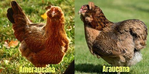 araucana vs ameraucana