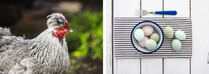 Tout savoir sur la poule Cream Legbar