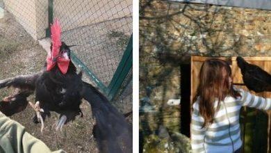 Comment apprendre à une poule ou un coq à voler sur le bras