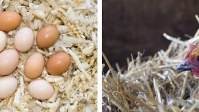 Choisir la bonne litière pour ses poules