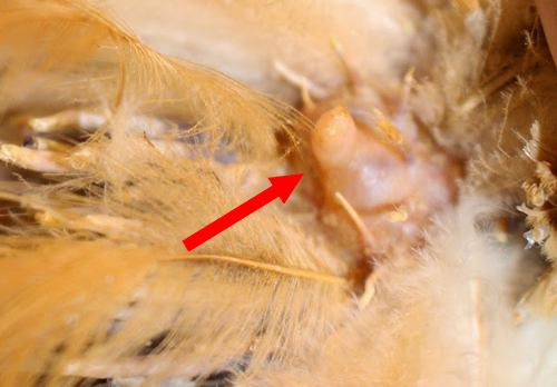 Glande uropygienne de la poule