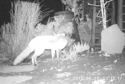 Le renard qui rôde peut faire chanter le coq la nuit