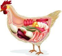 Anatomie interne de la poule