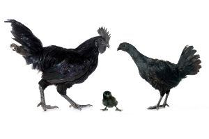 Couple Ayam Cemani
