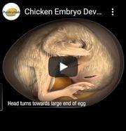 Le développement d'un poussin dans l'œuf en vidéo