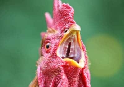 Intérieur de la bouche d'une poule