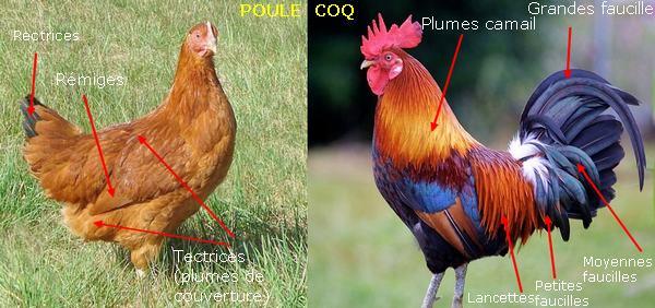 Différence plumage entre une poule et un coq