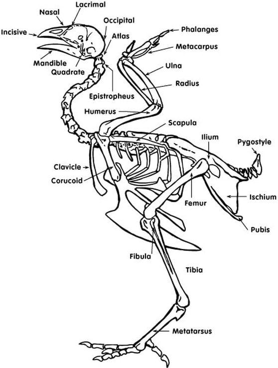 Vue d'un squelette d'une poule : les os