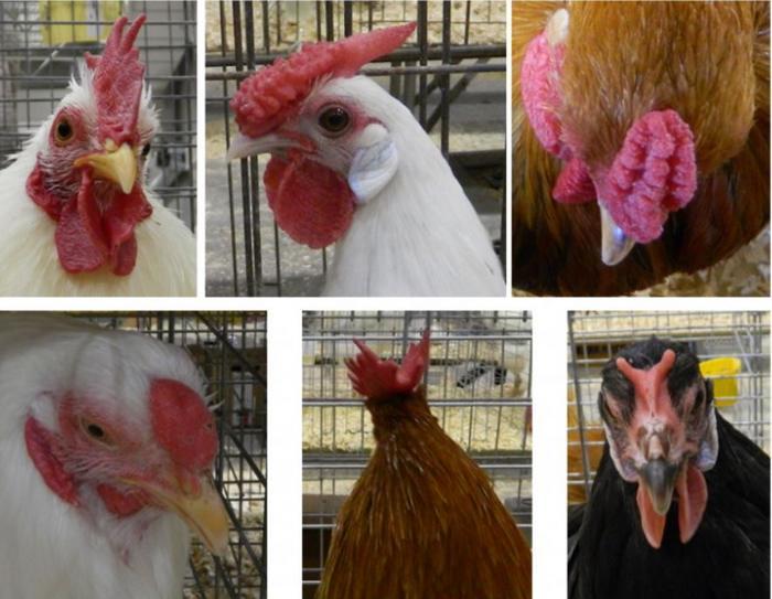 Morphologie tête poule et coq